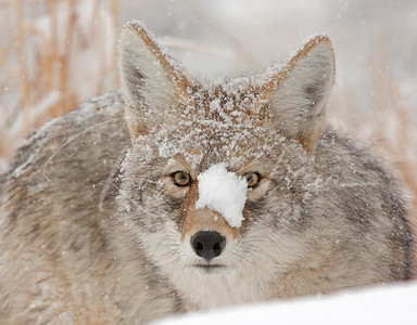 Coyote after an unsuccessful mouse hunt 1014