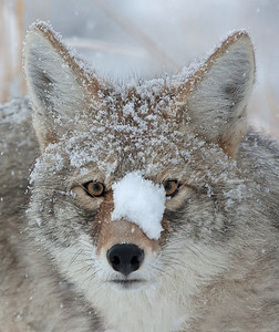 Coyote with a bit of snow on his head