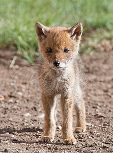 Young coyote pup checking me out