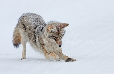 Coyote and Vole 1032