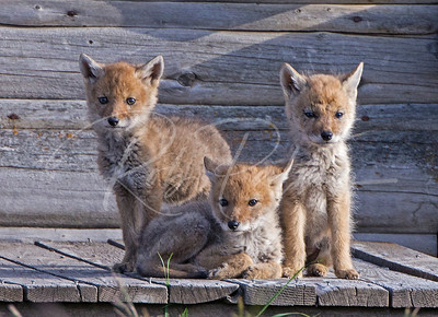 Coyote pups on the porch
