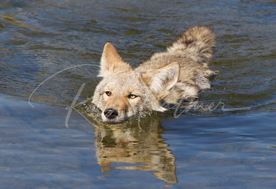 Coyote crossing the river in Yellowstone NP.