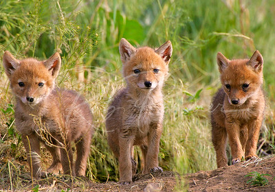 A Trio of Coyote Pups