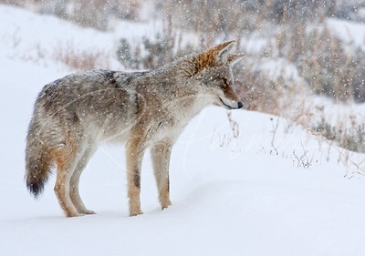 Coyote listening for a vole