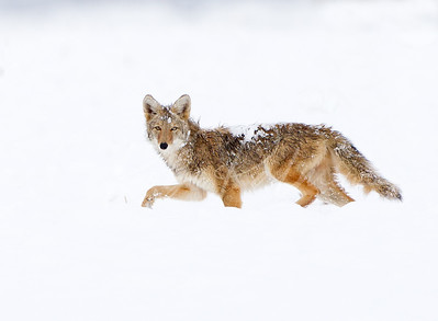 Coyote taking a look