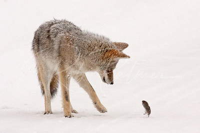 """David and Goliath"" Coyote and Vole"