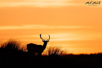 Deer Sunset