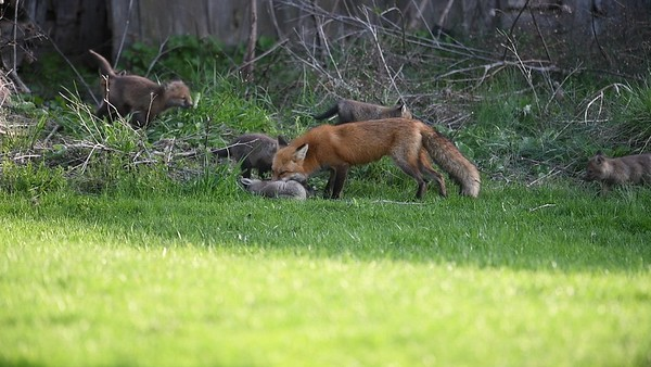 Young fox Kits From Blended Family