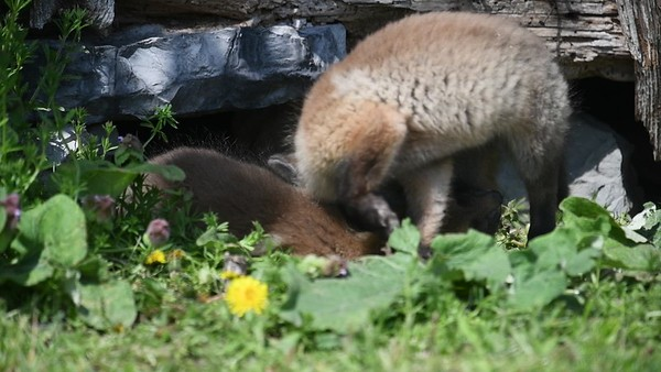 Two fox kits Amusing Themselves