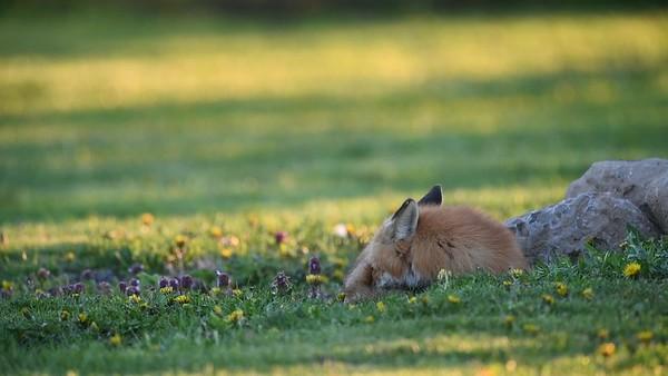 Sleeping Fox Responds to a Bird's Alarm Call