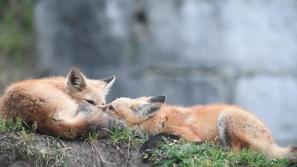 Fox kits playing June