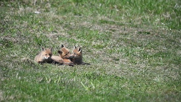 Three Fox Kits Playing