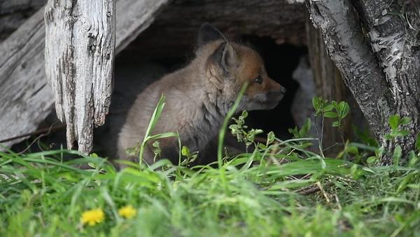 Young Fox Kit Amuses Itself