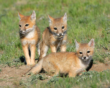 A Trio of Swift Fox KIts