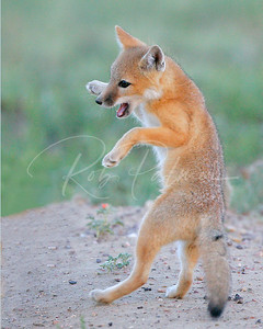 Swift Fox Kit Playing