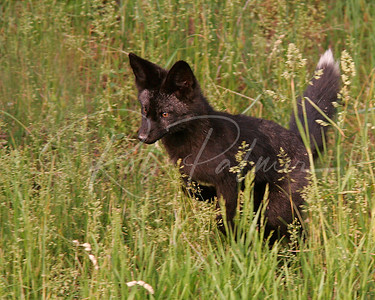 A Black Red Fox Kit
