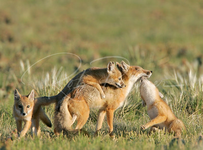 Swift Fox Family