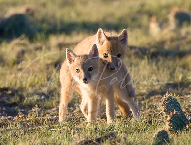 Two Young Swift Foxes
