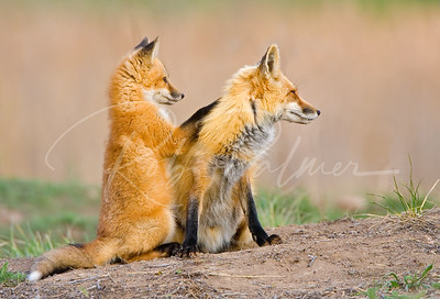 Red Fox Mom and Kit
