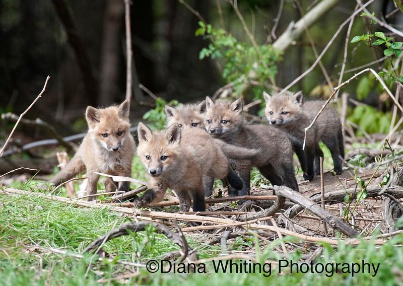 _DEW8047 fox pups