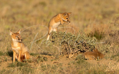 A young swift fox kit pounces on his sibling.
