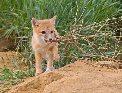 Swift Fox Kit with a tumbleweed 7494