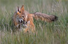 Swift Fox Mom and Kit