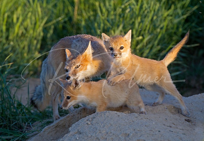 Swift Fox Mom and Kits 7313