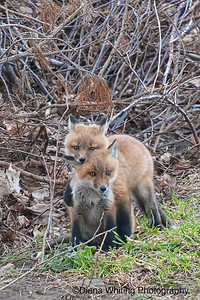 Fox Kit Playing
