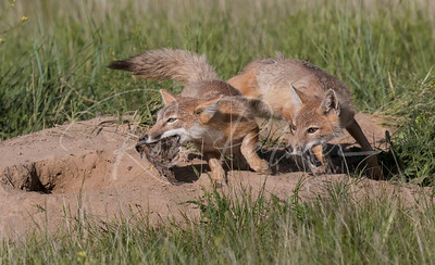 Adult Swift Foxes chasing each other