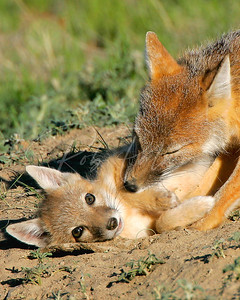 Swift Fox Kit and Mom