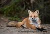 Fall Fox 2