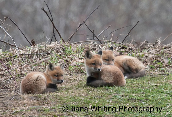 Fox Kit Trio 3