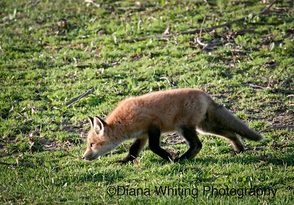 Fox Kit Stalking