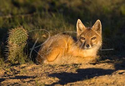 Swift Fox in Golden Light