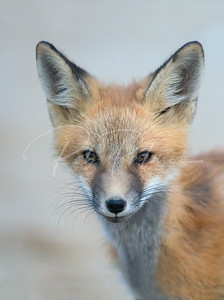 Red Fox kit portrait