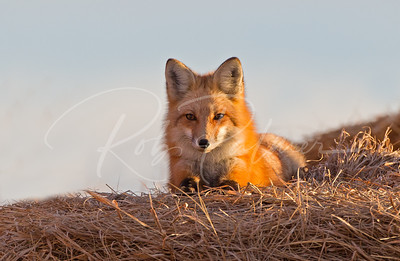 Red Fox relaxing on a haystack