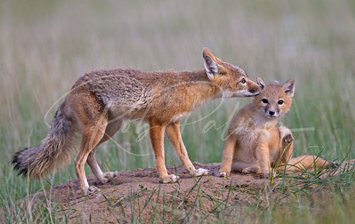 Swift Fox mom grooming kit.