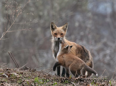 Female Fox With Kit