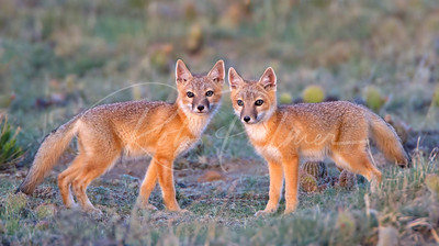 Two young foxes after sunset.