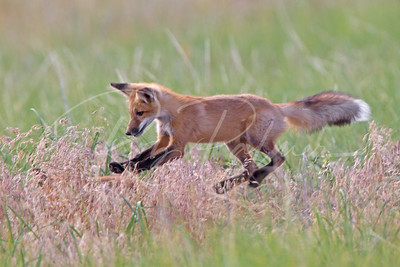 Young Red Fox kit sneaking up on his sibling in the grass.