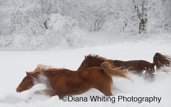 Horses Winter Run