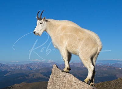 Mountain Goat with a new coat on top of Mt. Evans