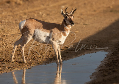 Pronghorn getting a drink