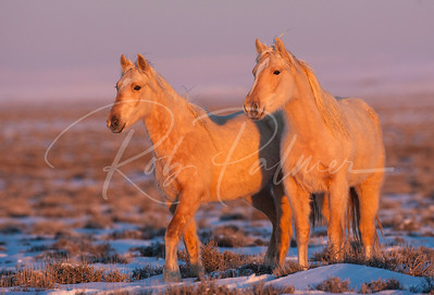 A pair of young wild horses