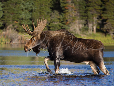 Bull Moose at Brainard Lake, Colorado