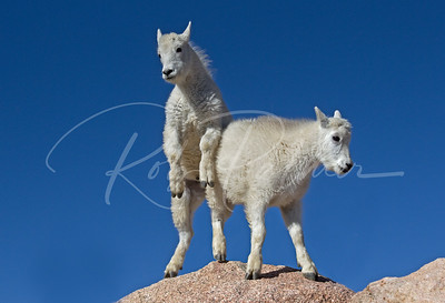 A Pair of Mountain Goat kids playing king of the mountain.  Mt. Evans, Colorado