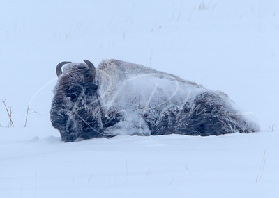 Bison in a blizzard