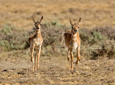 Two young pronghorn on the move