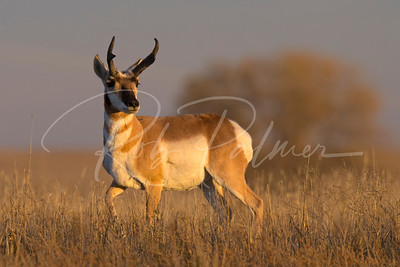 Adult Male Pronghorn